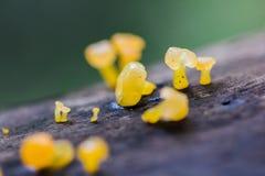 Hongo amarillo en la madera seca en el bosque imagenes de archivo