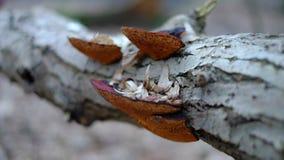Hongo anaranjado en el árbol de plata Fotografía de archivo libre de regalías