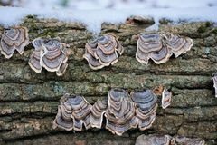 Hongo de estante de Turkeytail en la madera muerta con nieve foto de archivo