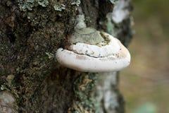 Hongo de Polypore en foco selectivo macro del árbol Foto de archivo