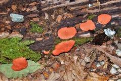 Hongo de soporte anaranjado que crece en tronco de árbol muerto imagen de archivo
