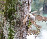 Hongo del abedul en el árbol Imagenes de archivo