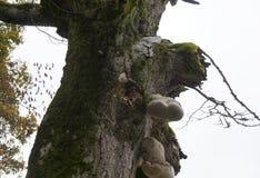 Hongo del abedul en el árbol Fotos de archivo libres de regalías