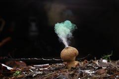 Hongo del Puffball en bosque fotografía de archivo