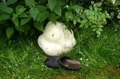 Hongo del puffball gigante con el zapato como referencia del tamaño imágenes de archivo libres de regalías