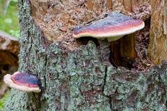 Hongo en árbol de pino viejo Imagenes de archivo
