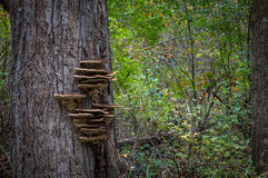 Hongo en un árbol Foto de archivo libre de regalías
