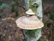 Hongo que crece en un árbol de abedul de plata Imagen de archivo