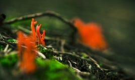 Hongo rojo brillante Imagen de archivo libre de regalías