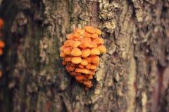 Hongo salvaje del árbol que crece en tronco de árbol en el eje del árbol forestal de Rusia que crece en tronco Imágenes de archivo libres de regalías