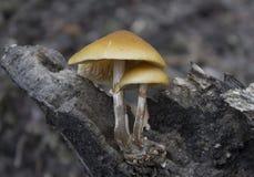 hongos foto de archivo libre de regalías