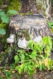 Hongos de Polypore en un tocón viejo Imagen de archivo