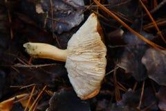 Hongos de seta en bosque en caída imagen de archivo libre de regalías