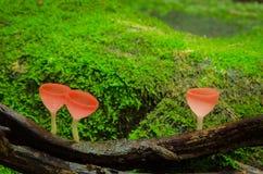 Hongos de taza y fondo de los orgrass del musgo Foto de archivo