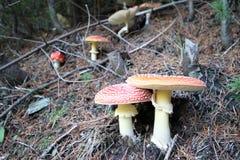Hongos del bosque Imagen de archivo