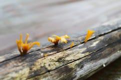Hongos naranja-amarillos en la madera del decaimiento Imagenes de archivo