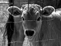 Hongrois Grey Ox Portrait Photo stock