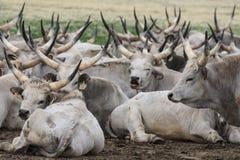 Hongrois traditionnel Grey Steer Photographie stock libre de droits
