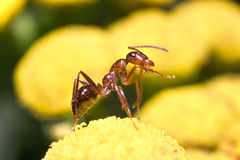 Honig-Ameise Stockbilder