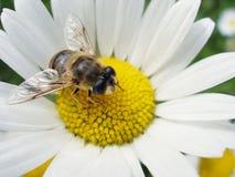 Honig-Biene Stockfotografie