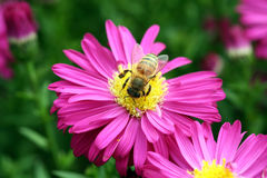 Honig-Biene Stockfotos