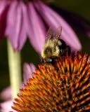 Honig-Biene Lizenzfreie Stockbilder