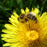 Honig-Biene Lizenzfreie Stockfotos