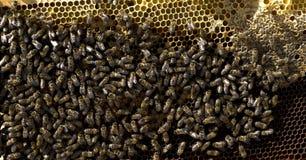 Honig-Biene auf Bienenwabe Stockfotos