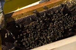 Honig-Biene auf Bienenwabe Lizenzfreies Stockfoto