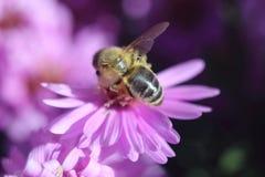 Honig-Biene auf Blume stockfotos