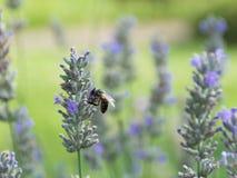 Honig-Biene auf einer Lavendel-Blume Lizenzfreie Stockfotos