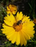 Honig-Biene auf gelber Blume lizenzfreie stockfotos