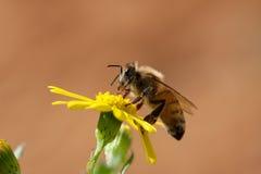 Honig-Biene auf gelber Blume Stockbild