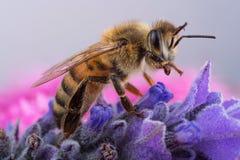 Honig-Biene auf Lavendel Lizenzfreie Stockfotos