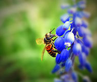 Honig-Biene auf purpurroter Blume Stockfotografie