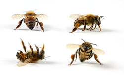 Honig-Bienen Stockbild