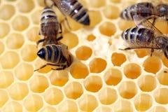 Honig-Bienen Stockfotos