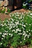 Honig vom süßen Feld blüht solches s-camomille stockfotos