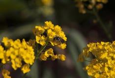 , Honig von blühendem gelbem Alyssum sammelnd stockfotografie