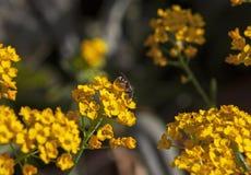 , Honig von bl?hendem gelbem Alyssum sammelnd stockfotos