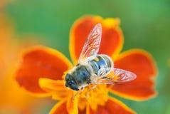 Honig, zieht `t vergisst Blumen an Stockbild