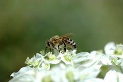 Honigbiene Lizenzfreie Stockbilder