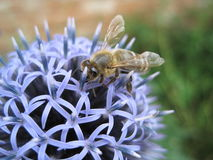 Honigbiene Stockfotos