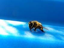 Honigbiene 1 Stockfotografie
