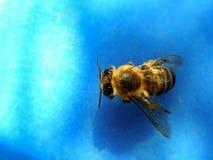 Honigbiene 4 Lizenzfreies Stockfoto