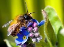 Honigbiene Stockfotografie