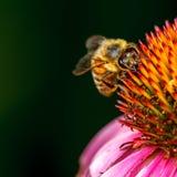 Honigbiene auf Blume lizenzfreies stockbild