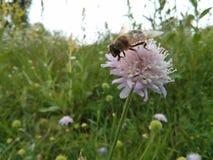 Honigbiene auf der Blume Stockbilder