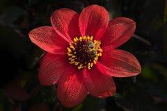 Honigbiene auf der roten Dahlienblume stockfotografie