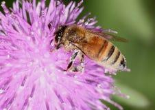 Honigbiene auf Distel Lizenzfreie Stockbilder